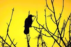 Silhueta de um corvo em uma árvore fotografia de stock