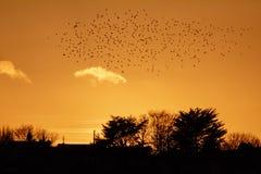 Silhueta de um rebanho dos pássaros que voam sobre uma cidade no por do sol imagem de stock royalty free
