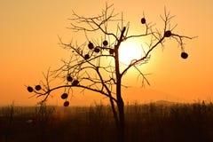 A silhueta de uma árvore de caqui sob o por do sol dourado Fotografia de Stock Royalty Free
