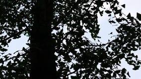 Silhueta de uma árvore da nogueira-do-Japão, biloba da nogueira-do-Japão, com as folhas que movem-se no vento filme