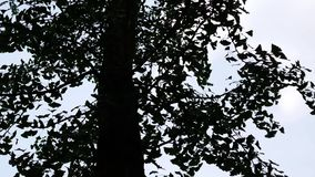 A silhueta de uma árvore da nogueira-do-Japão, biloba da nogueira-do-Japão, deixa mover-se no vento filme