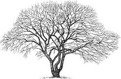 Silhueta de uma árvore velha Fotos de Stock