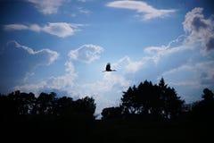 A silhueta de uma cegonha do voo Fotos de Stock Royalty Free