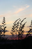 Silhueta do arbusto do linho atrás do por do sol de NZ imagem de stock