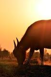 Silhueta do búfalo com fundo da luz solar Imagens de Stock Royalty Free