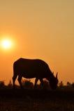 Silhueta do búfalo com fundo da luz solar Fotos de Stock Royalty Free