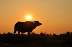 Silhueta do búfalo com fundo da luz solar Imagem de Stock Royalty Free