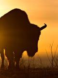 Silhueta do bisonte foto de stock