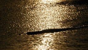 A silhueta do crocodilo nada na água no por do sol Muddy Swampy River tailândia Ásia filme