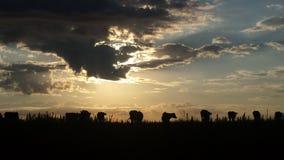 Silhueta do gado imagens de stock