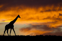 Silhueta do Giraffe imagens de stock