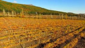 Silhueta do homem de negócio Cowering Voo sobre vinhedos em Autumn Day brilhante filme