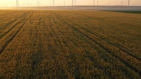 Silhueta do homem de neg?cio Cowering Voo perto acima do campo de trigo amarelo vasto Campo de trigo verde no movimento com as tu video estoque