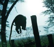 Silhueta do macaco Foto de Stock