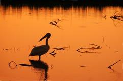 Silhueta do pelicano Imagens de Stock