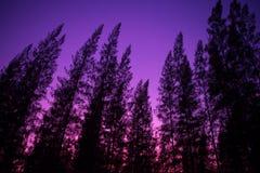 Silhueta do pinheiro Fotos de Stock