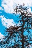 Silhueta do pinheiro inoperante contra o fundo do céu azul Foto de Stock Royalty Free