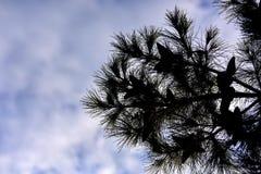 Silhueta do pinheiro no fundo do céu foto de stock