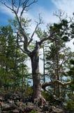 Silhueta do pinheiro seco inoperante contra o fundo do céu azul Foto de Stock