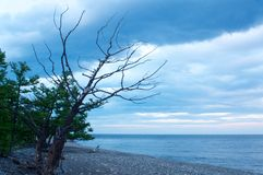 Silhueta do pinheiro seco inoperante contra o fundo do céu azul Imagens de Stock Royalty Free