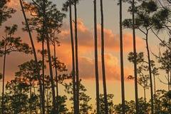 Silhueta do por do sol durante todo os pinhos imagens de stock royalty free