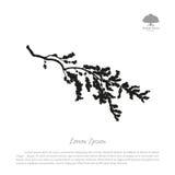 Silhueta do ramo de florescência em um fundo branco Tre da cereja ilustração do vetor