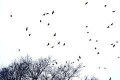 Silhueta do rebanho dos corvos em voo sobre partes superiores da árvore, isolado no branco fotos de stock royalty free