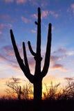 Silhueta do Saguaro gigante Fotografia de Stock
