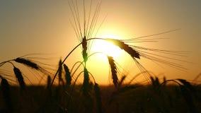 Silhueta do trigo em um campo em um fundo do por do sol Cultivo e colheita O campo do balanço dourado do trigo video estoque