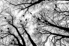 Silhueta do voo escuro do corvo acima das árvores desencapadas imagem de stock