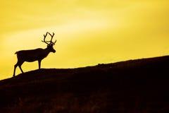Silhueta dos cervos Fotografia de Stock Royalty Free