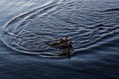 Silhueta dos patos em seguido na água Imagens de Stock Royalty Free