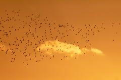Silhueta dourada de um rebanho dos pássaros que voam no por do sol fotografia de stock