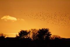 Silhueta dourada de um rebanho dos pássaros que voam sobre uma cidade no por do sol Imagens de Stock Royalty Free