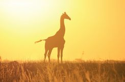 Silhueta dourada do por do sol do girafa - fundo e beleza dos animais selvagens da selva de África. Imagens de Stock