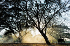Silhueta dramática de árvores grandes Fotos de Stock Royalty Free