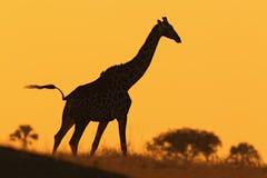 Silhueta idílico do girafa com nivelamento do por do sol alaranjado, Botswana, África Fotos de Stock