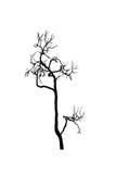 Silhueta inoperante da árvore coroa seca do carvalho sem folhas isoladas no branco foto de stock royalty free