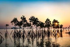 Silhueta nova das árvores dos manguezais na água no por do sol Imagens de Stock