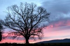 Silhueta solitária do carvalho abaixo de um céu cor-de-rosa imagem de stock