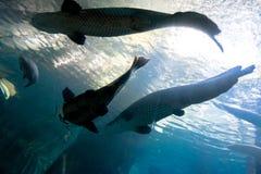 A silhueta subaquática da parte-parte superior de um peixe-gato grande e o tarpão pescam foto de stock royalty free