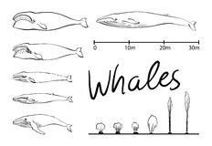 Silhuetas da baleia, vetor preto e branco da baleia azul Fotografia de Stock