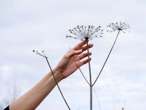Silhuetas da grama seca dos guarda-chuvas Fotos de Stock