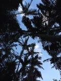 Silhuetas da palmeira Fotos de Stock Royalty Free