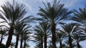 Silhuetas da palmeira da data em Coachella fotos de stock royalty free