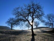 Silhuetas das árvores de carvalho Fotografia de Stock