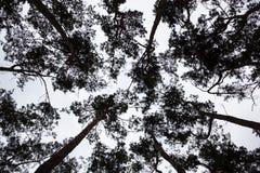 Silhuetas das copas de árvore do pinho contra o céu fotos de stock royalty free