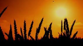 Silhuetas das orelhas do trigo no campo de trigo cultivado agrícola filme