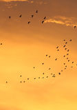 Silhuetas de pássaros de voo com céu e nuvem do por do sol Fotos de Stock Royalty Free