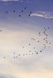 Silhuetas de pássaros de voo com céu e nuvem do por do sol Fotos de Stock